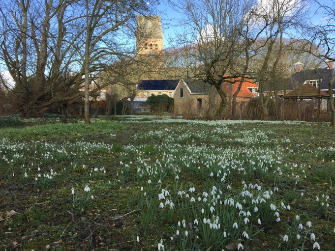 Sneeuwklokjes meanderen door de tuin in Stiens.