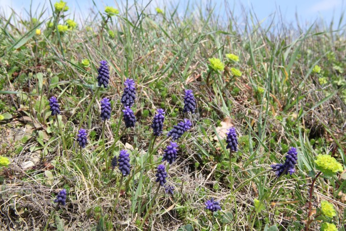 Slovenia, Grape Hyacinth (Muscari botryoides) and Alternate-leaved Golden Saxifrage Chrysosplenium alternifolium. Photo: Stinze Stiens.