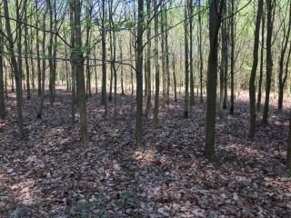 Dichte begroeiing van jonge beukenbomen in het Hallerbos (België) zonder onderbegroeiing van Boshyacinten.