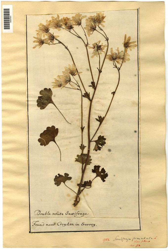 Dubois ('Double white Saxifrage