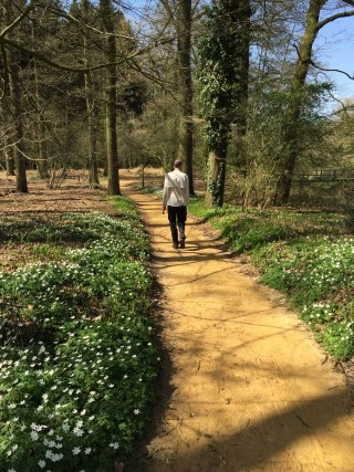 Wood Anemones along the path at the brook, Hackfort.