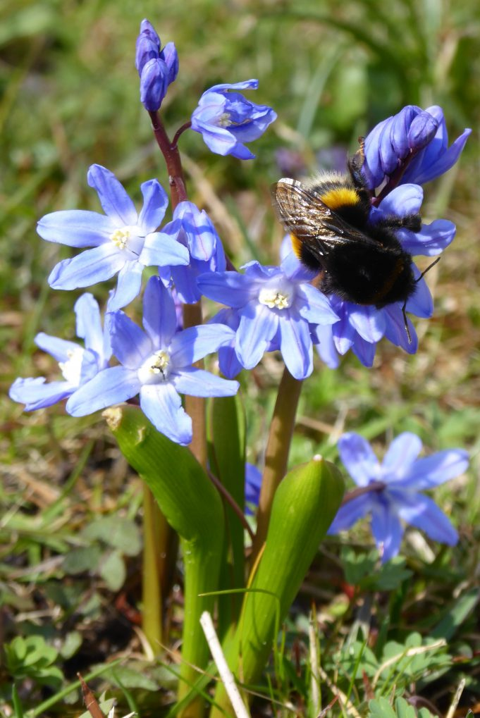 Chionodoxa forbesii (Glory-of-the-Snow) at the Schierstins.