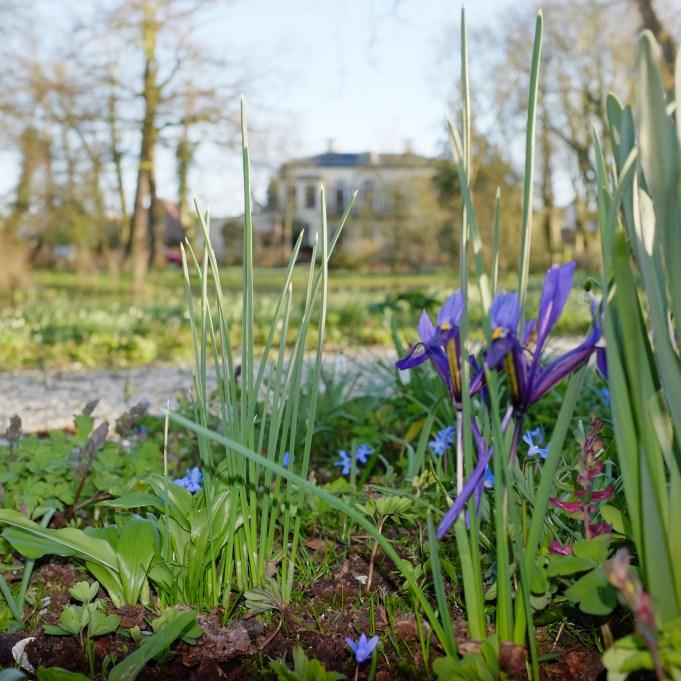Iris reticulata , Sneeuwroem en een Holwortel bij Philippusfenne.