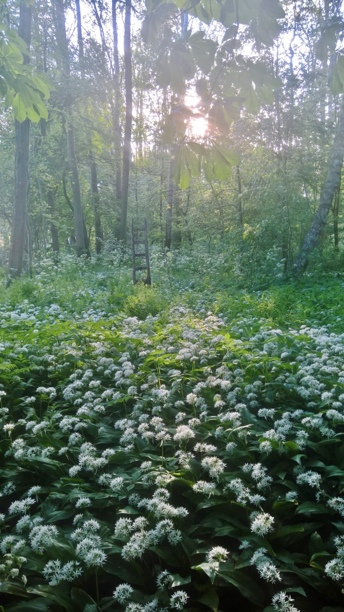 Field of Bear's Garlic in the tuft at Dekema State.