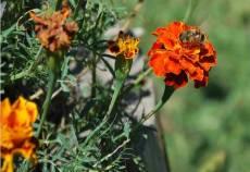 Comisia Europeana va interzice o serie de pesticide mortale pentru albine, din 2014