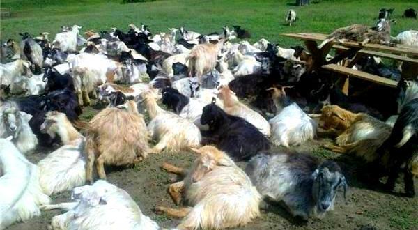 vand-capre-carpatine-super-bun-capre