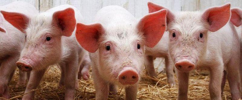 Crescătorii de porci fac performanță