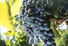 Aglianico este un soi de struguri de vin specific sudului Italiei, de culoare neagră.