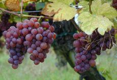 În afara de Alsacia, soiul Gewurztraminer mai este cultivat pe coastele americane ale Oceanului Atlantic, în California și New York