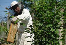Folosirea fungicidelor slăbește rezistența albinelor la paraziți