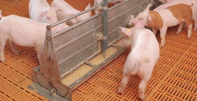 România avea aproape 4,52 milioane de exemplare de porcine la 1 mai 2013, statistica indicând o scădere de 1,4% a efectivelor de porcine, comparativ cu aceeași perioadă a anului trecut.