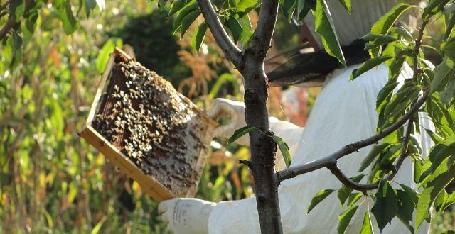România deţine, în prezent, 1,47 milioane de familii de albine.