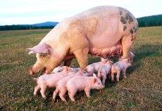 subventii pentru porci