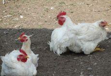 Producatorii de carne de pasare si oua cer reducerea rapida a TVA
