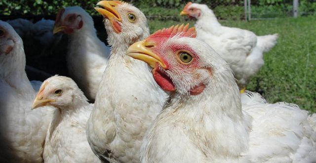 Aproape două treimi din români consumă carne de pui aproape zilnic, iar 77% săptămânal, cantitatea medie lunară consumată fiind de 2-3 kilograme, potrivit unui studiu realizat de compania Transavia.