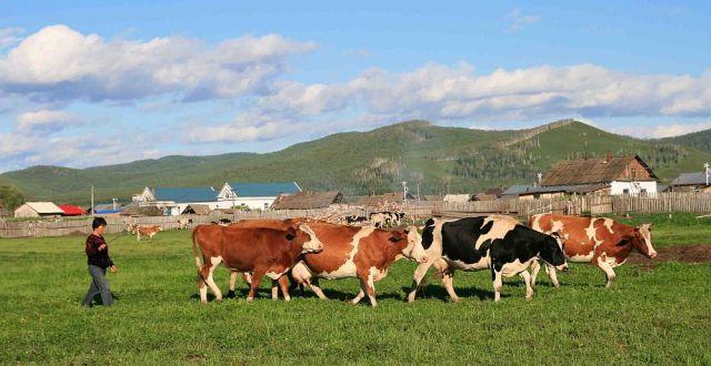 In august 2013, au fost sacrificate 53.000 de bovine, din care 13.000 de capete au fost sacrificate în unități industriale. Spre comparație, în iulie 2013, numărul de bovine sacrificate a fost de 71.000 de capete. În august, comparativ cu iulie 2013, numărul animalelor sacrificate în unități industriale a rămas constant, iar greutatea lor în carcasă a crescut cu 4,1%. În luna august 2013, ponderea bovinelor sacrificate în unităţile industriale specializate a fost de  24,5% din totalul sacrificărilor de bovine.