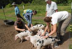 ferma de porci