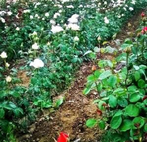 vand-butasi-trandafiri1