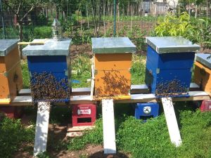 roiuri de albine