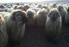 Sarbatoarea Crescatorilor de Ovine