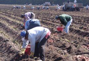 culturi de cartofi