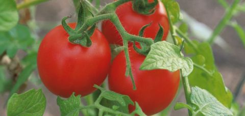legumicultura tomate