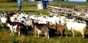 vanzare-capre