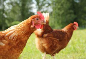 rase de gaini pentru productia de oua