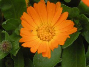 calendula-officinalis-galbenele