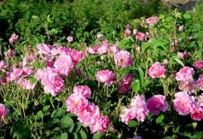 dulceata-trandafiri3