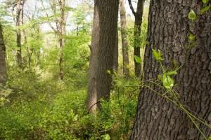 padure de stejar