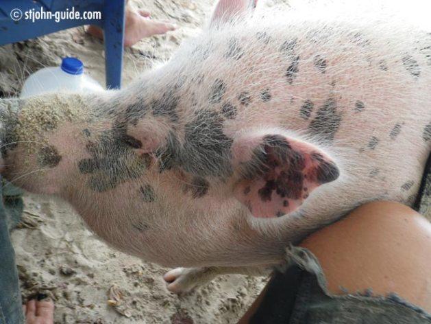ziggy-pig-stjohn2