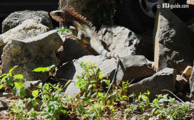 Iguana sunbathing on St. John., USVI