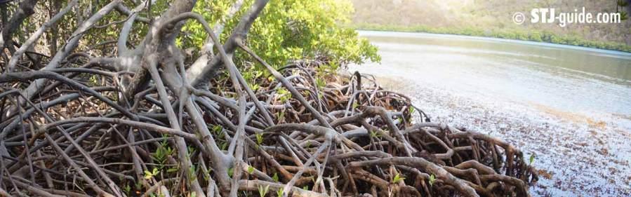 hurricane-hole-stjohn-mangrove-snorkel