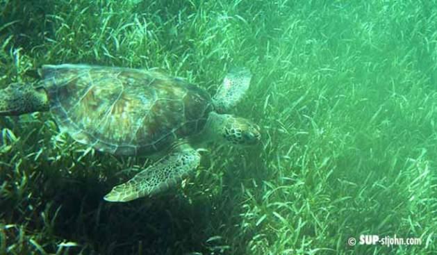 sea-turtle-stjohn