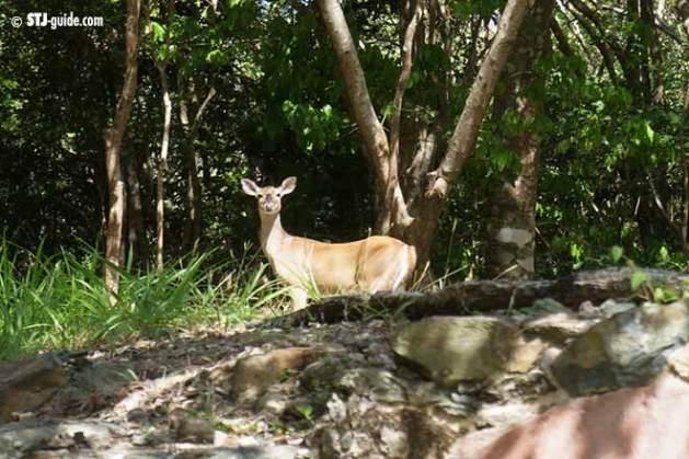 Catherinenberg-ruins-stjohn-deer