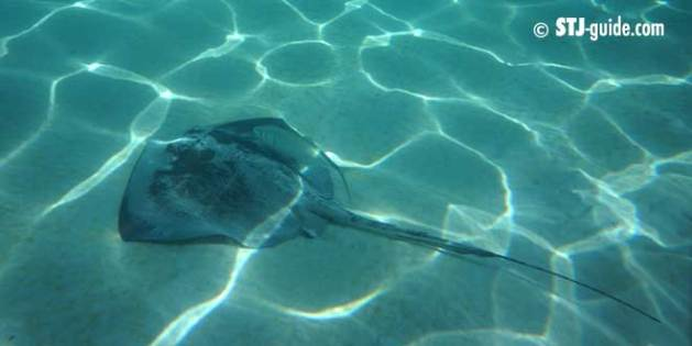 stingray-ray-stjohn-usvi
