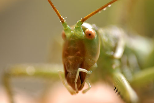 Grasshoppers katydids crickets roaches mantises stick