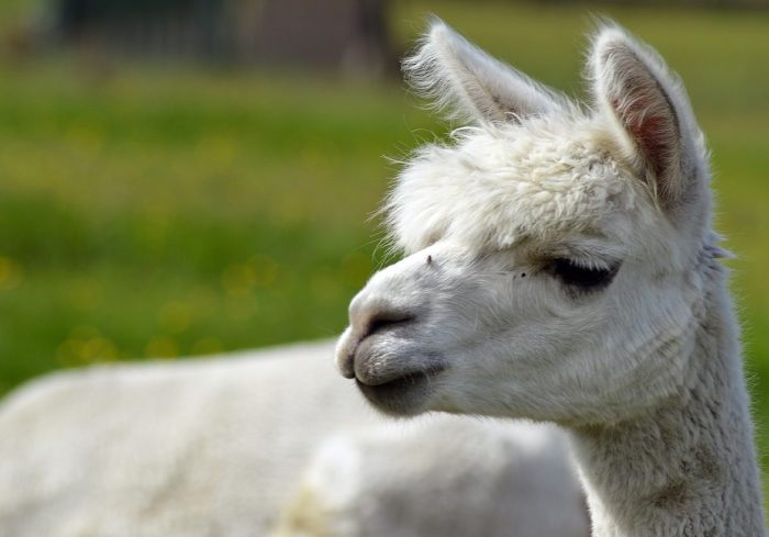 alpaca-424831_1280