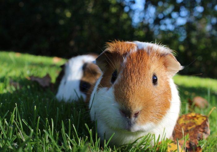 guinea-pig-1100448_1920