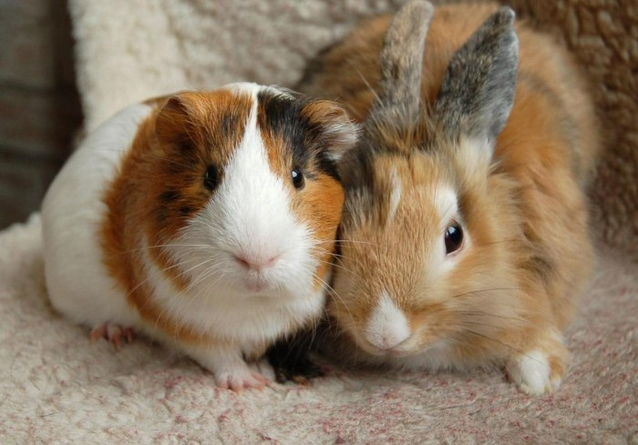 rabbits-or-guinea-pigs-which-is-best-for-you-54e70673427bc