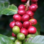 Coffee fruit from La Hammonia Farm on Selva Negra Estate