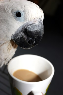Parrot drinking coffee out of a mug