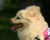 Small Dog Panting