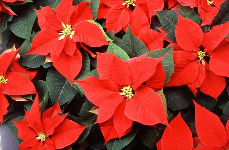 Ziemassvētku puķe puansetija