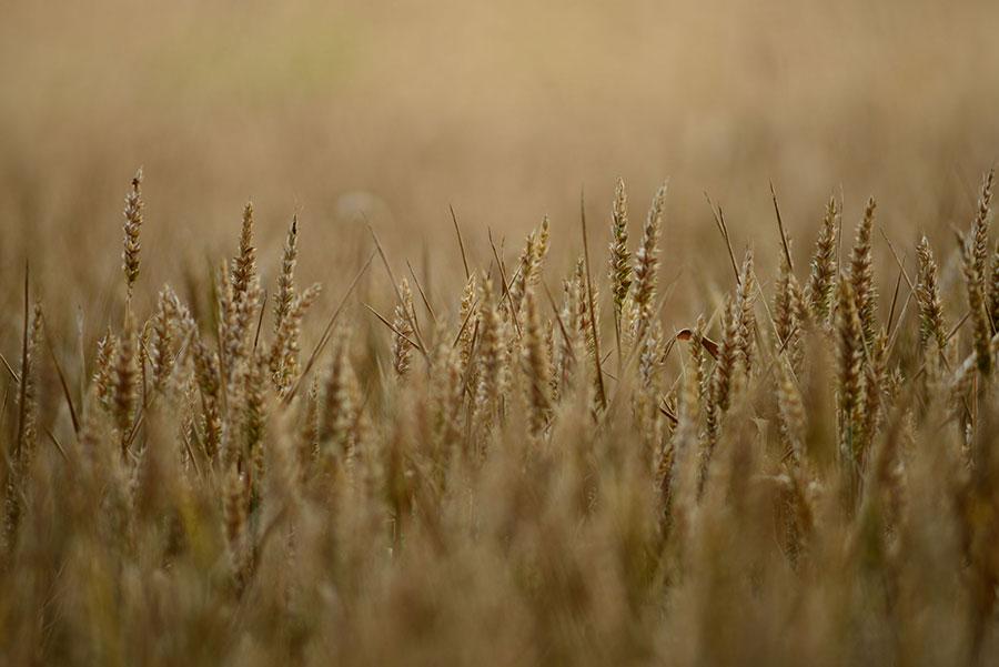 getreide-österreich-crop-austria-2015