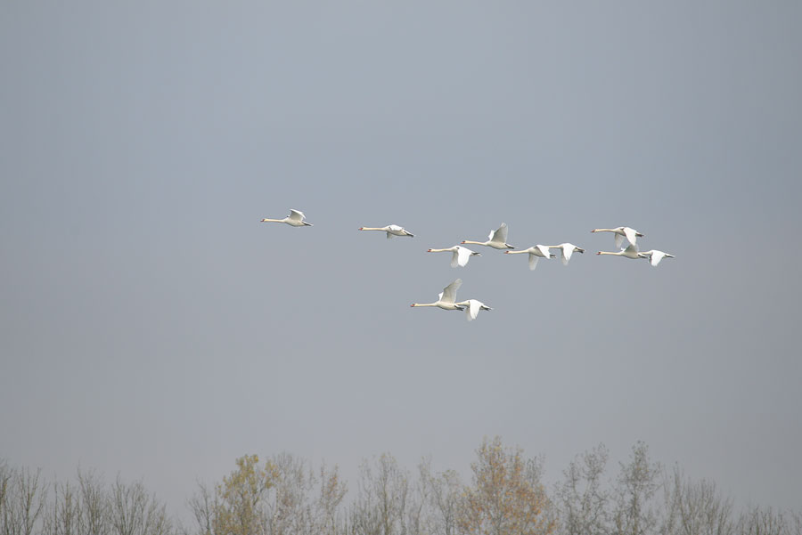 swan_flight_formation_birds_donau_wallsee_austria_autum_2015