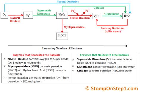 Free Radicals NADPH Oxidase Superoxide Myeloperoxidase