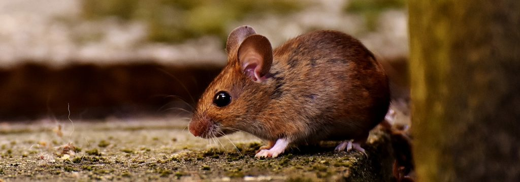 Rodent Control in Raleigh - Services As Low as $15/month!