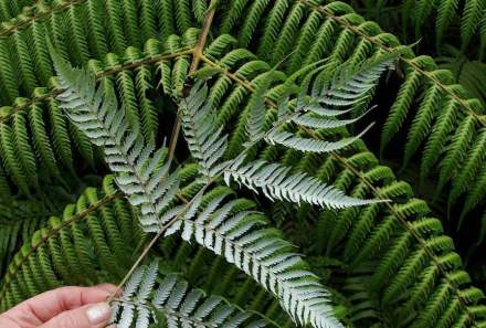 The Silver-Fern is an endemic plant in New Zealand and shown in the country's coat of arms. Photo: Tatiana Gerus / Wikimedia Commons